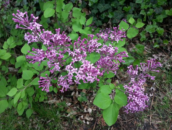 Lilac - Bloomerang