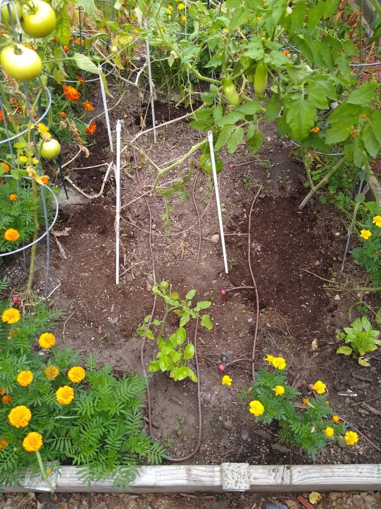 planting pea seeds image