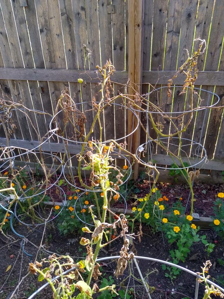 dead tomato plants picture